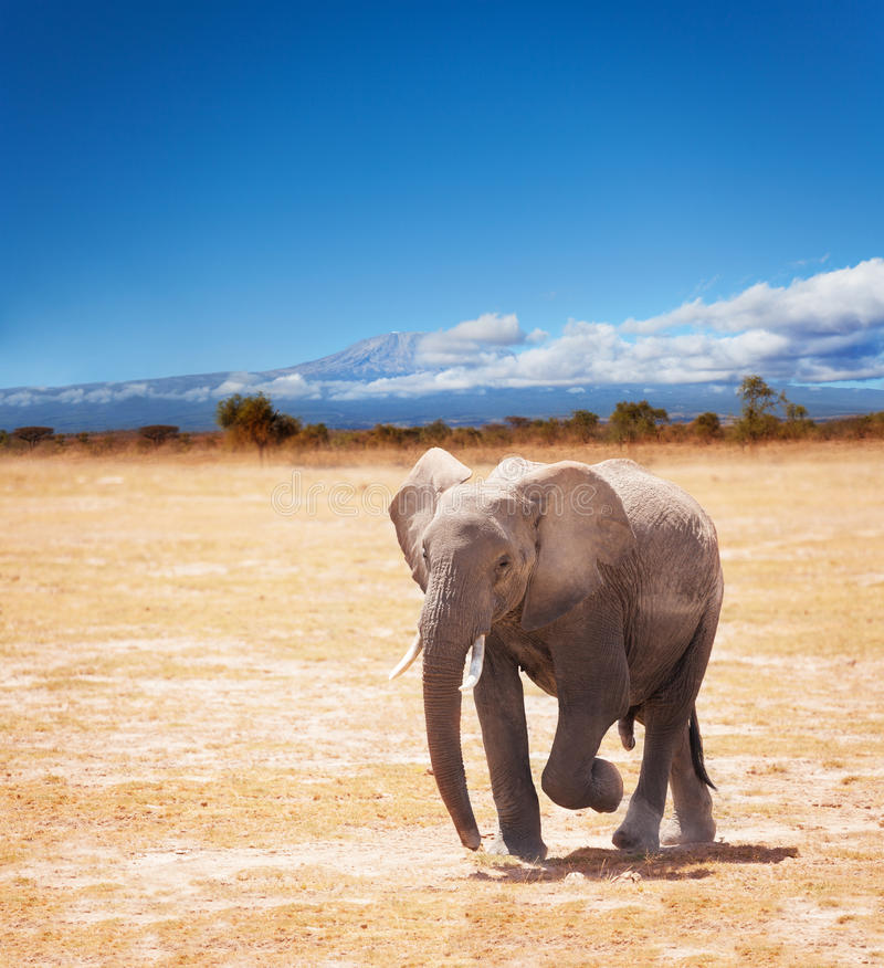 Picture of elephant on Kilimanjaro background. Beautiful picture of young African elephant on Kilimanjaro mountain background in National park of Kenya royalty free stock image