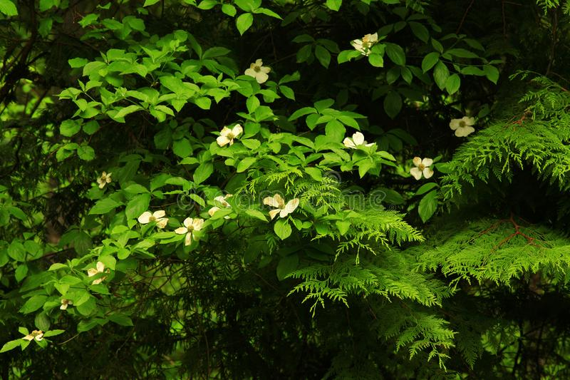 Pacific Northwest forest and flowering Dogwood tree stock photography