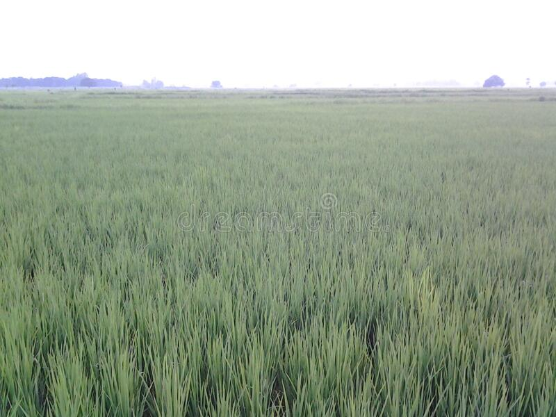 It is a picture of  farm land in nepal. This is a picture of farm land in nepal. it is paddy. it rice for drive life royalty free stock photography