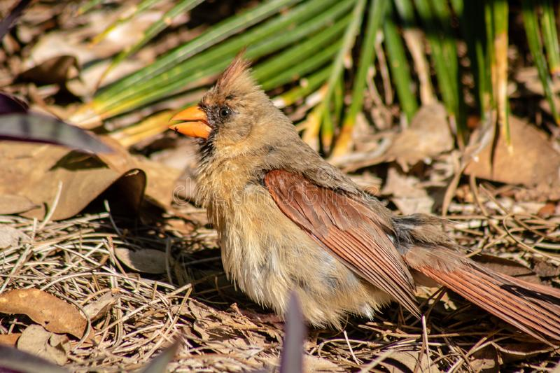 Female cardinal. Picture of a female cardinal stock image