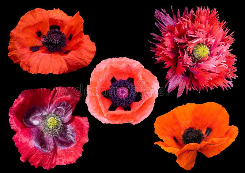 Glorious  Poppies. Picture of five different coloured poppies on a black background royalty free stock images