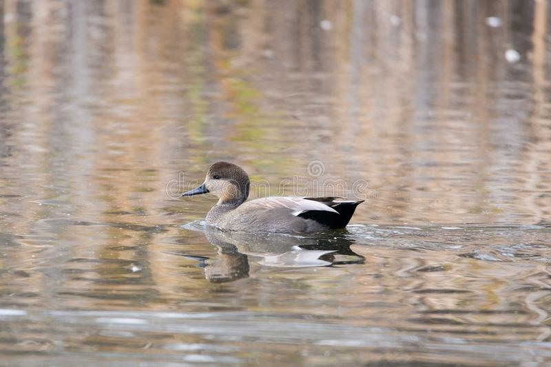 Floating Gadwall. A picture of a floating Gadwall duck on a lake in the fall time royalty free stock images
