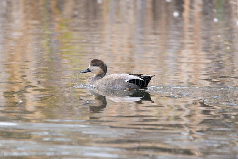 Floating Gadwall. A picture of a floating Gadwall duck on a lake in the fall time royalty free stock photo