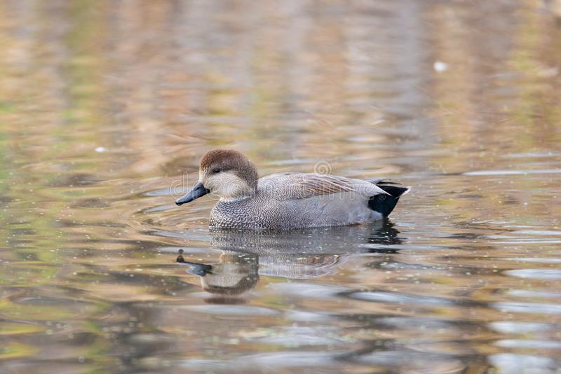 Floating Gadwall. A picture of a floating Gadwall duck on a lake in the fall time stock images