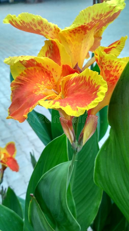 A flowers. This is a picture of flowers royalty free stock photos