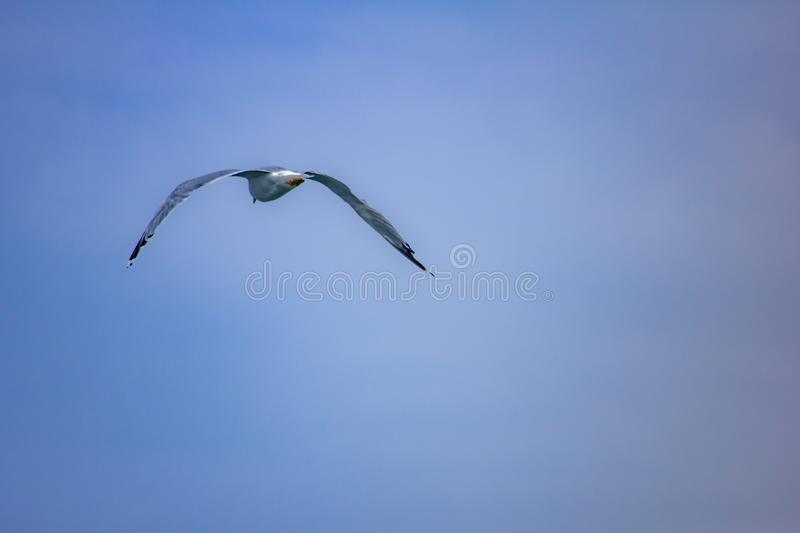 Picture of flying seagull, Seagulls are a subfamily of larid seabirds of the order of the Caradriiformes. The main genus of this s. Picture of flying seagull stock photography
