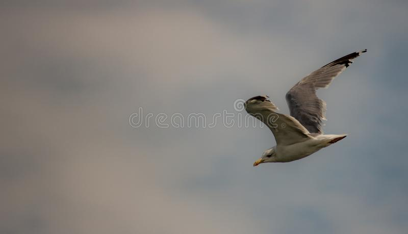 Picture of flying seagull, Seagulls are a subfamily of larid seabirds of the order of the Caradriiformes. The main genus of this s. Picture of flying seagull royalty free stock photos