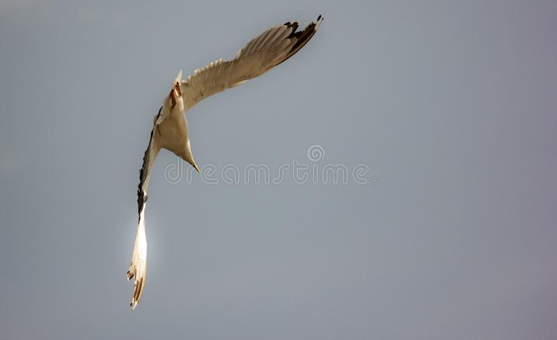 Picture of flying seagull, Seagulls are a subfamily of larid seabirds of the order of the Caradriiformes. The main genus of this s. Picture of flying seagull royalty free stock image
