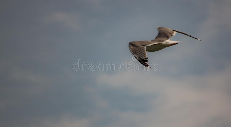 Picture of flying seagull, Seagulls are a subfamily of larid seabirds of the order of the Caradriiformes. The main genus of this s. Picture of flying seagull stock photo