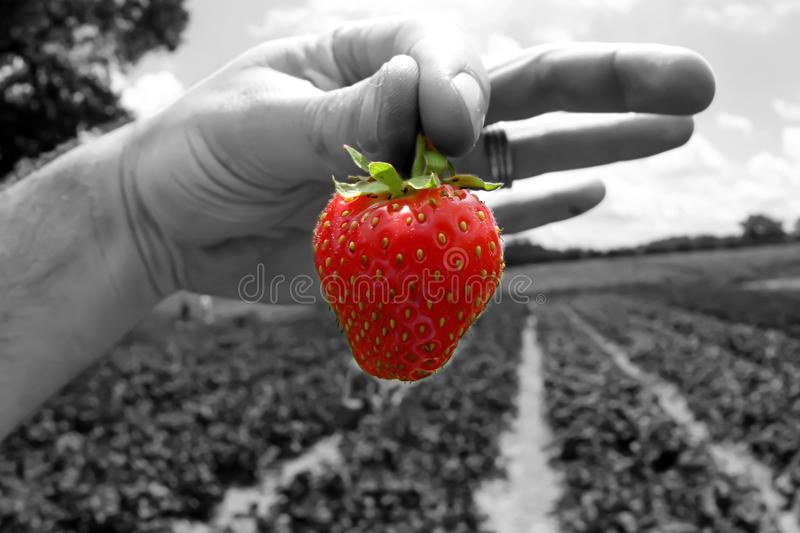 Fresh picked strawberry from a strawberry patch stock image
