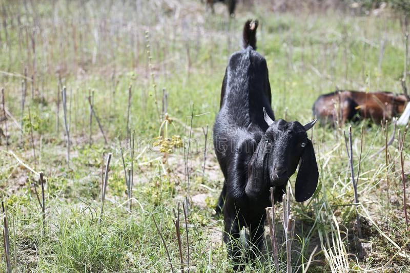 Picture of goat eating the grass in the farm royalty free stock image