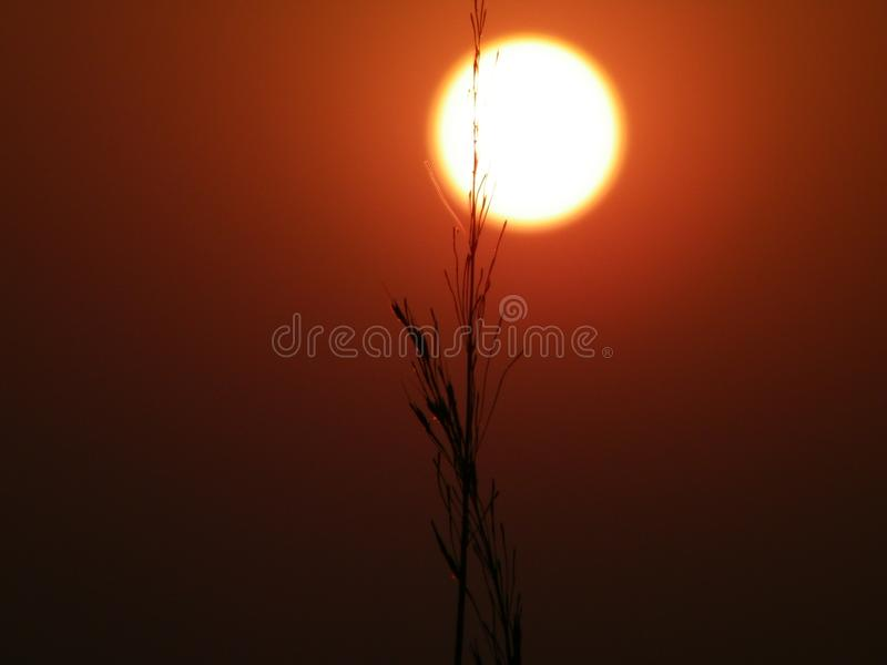 Two grass in font of the sun. It is a picture of grass which click in the evening stock photos
