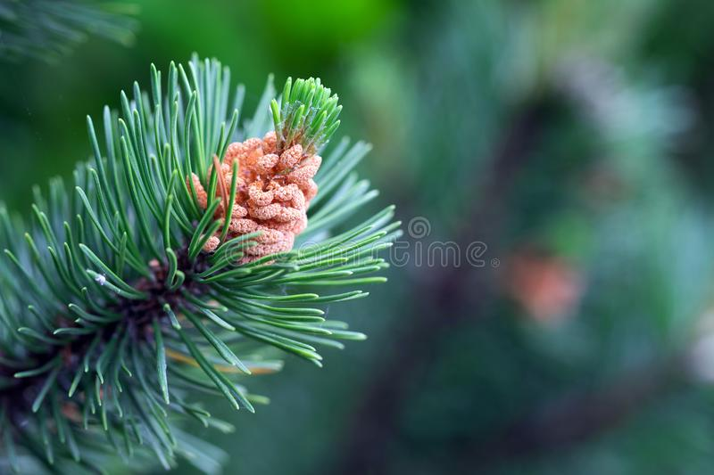 Picture of green spruce leaf in the forest royalty free stock image