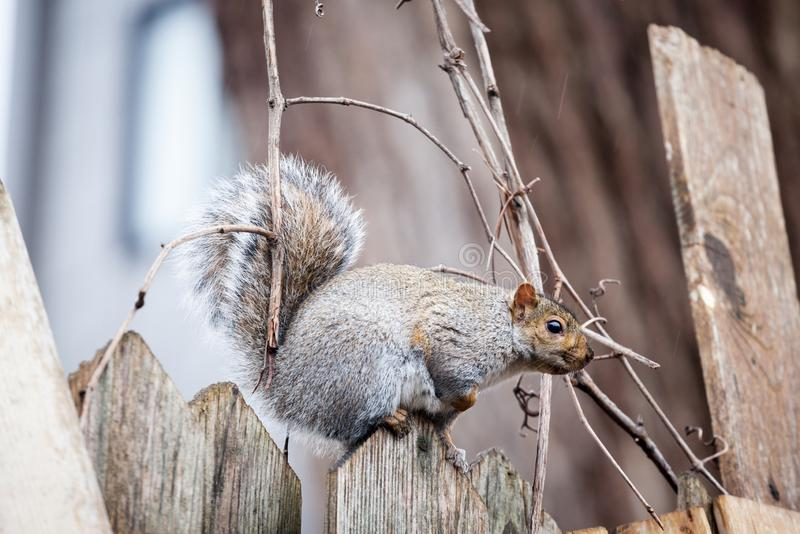 Eastern Gray Squirrel, or Sciurus carolinensis standing in an urban area of Montreal, Quebec, Canada. Picture of a Grey Squirrel standing on a wooden plank in stock photography