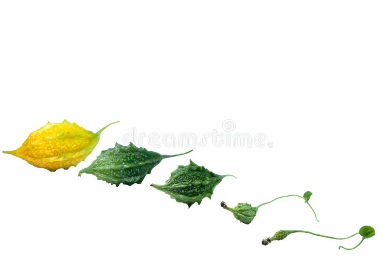 Picture of the growth of bitter gourd in each age ,Bitter gourd fresh organic green herb with isolated on white background,Copy royalty free stock image