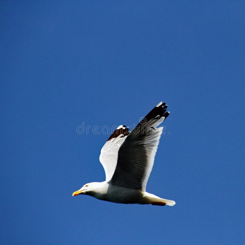 A picture of a Gull flying over Bempton Cliffs. A picture of a Gull flying over on Bempton Cliffs in August 2019 stock photo