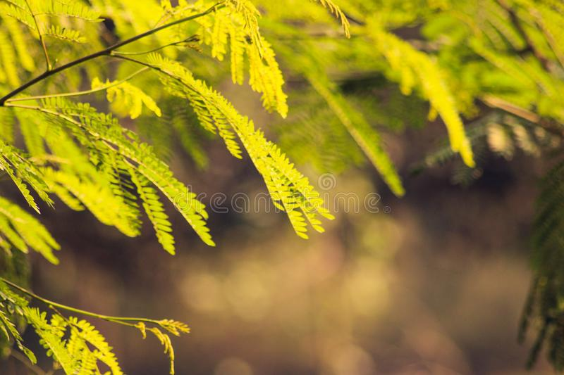 Picture of a gulmohar tree with some final touch with photoshop royalty free stock image