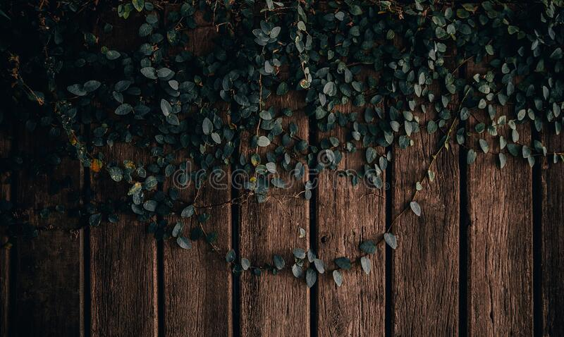 The picture of the ivy on the old wood stock photo