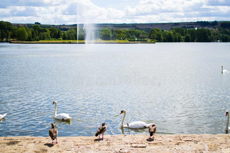 Picture of a landscape in a park, with a pool and a fountain at the background and a group of ducks and geese at the foreground.  stock image