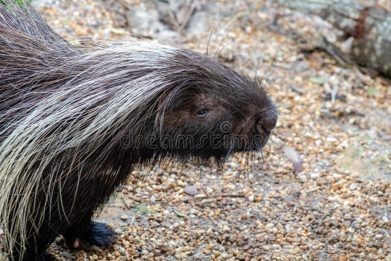 Large porcupine royalty free stock images