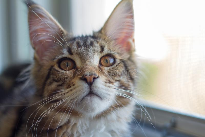 A picture of a Maine Coon kitten sitting on a window-sill near an open window stock photos