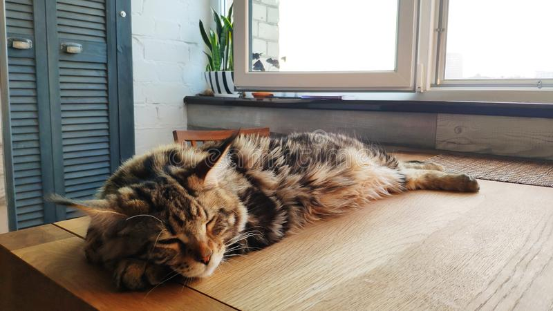 A picture of a Maine Coon kitten sleeping on a wooden table against the background of minimalistic kitchen, selective focus. Picture of a Maine Coon kitten royalty free stock images
