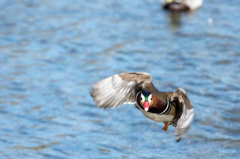 A picture  of  a male Mandarin duck taking off. Vancouver  BC  Canada stock images