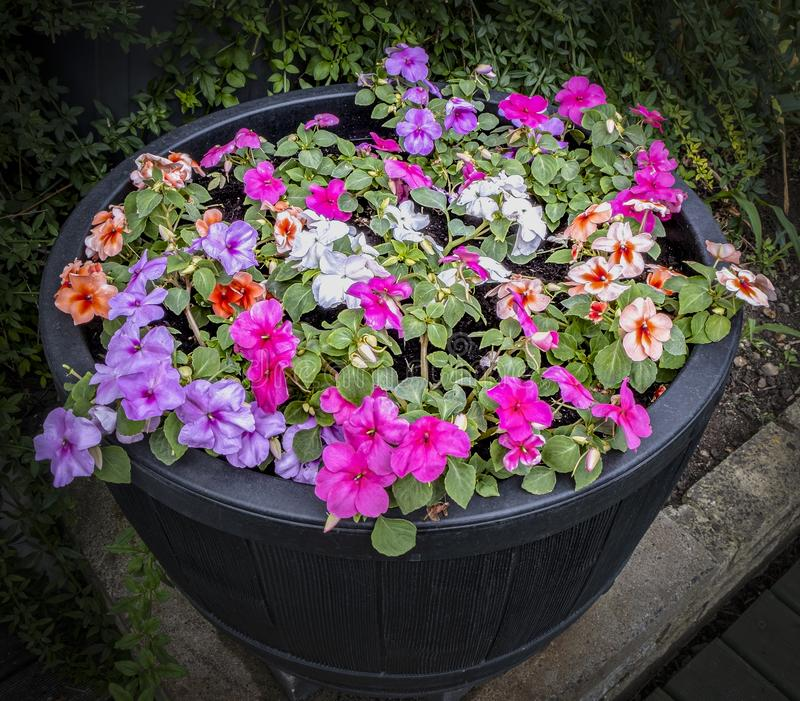Glorious multi coloured flowers. Picture of multi coloured flowers in a tub with a dark background royalty free stock photography