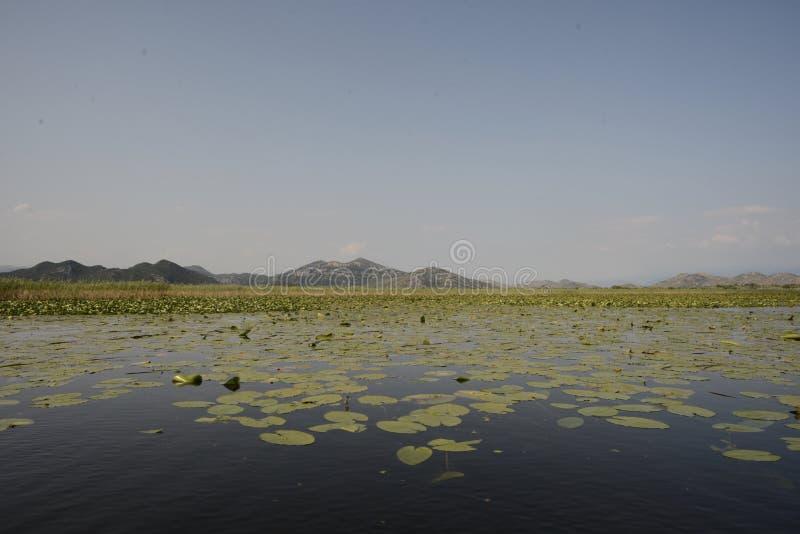 Nenuphars in Montenegro Skadar Lake royalty free stock photos