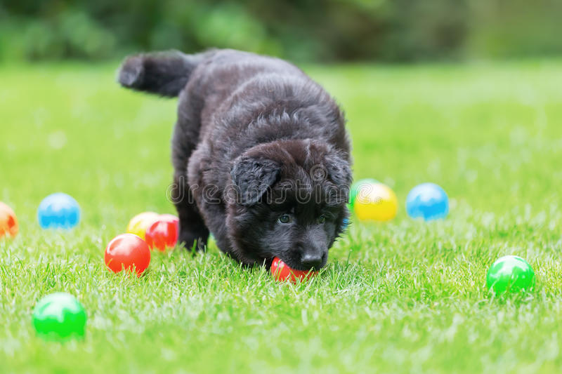 Old German Shepherd puppy plays with balls. Picture of an Old German Shepherd puppy who plays with balls royalty free stock images