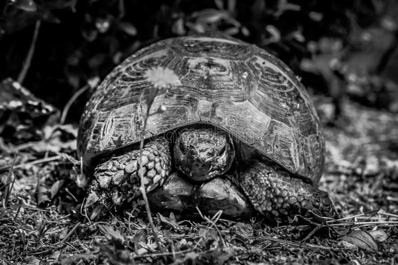 An old tortoise in Monte San Bartolo monastery in Pesaro, Marche, Italy. Picture of an old tortoise in Monte San Bartolo monastery in Pesaro, Marche, Italy stock image