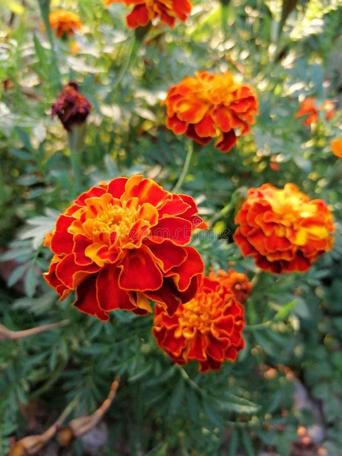 Orange flowers in garden royalty free stock images
