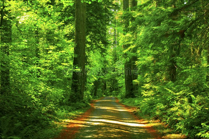 Pacific Northwest forest trail royalty free stock photography
