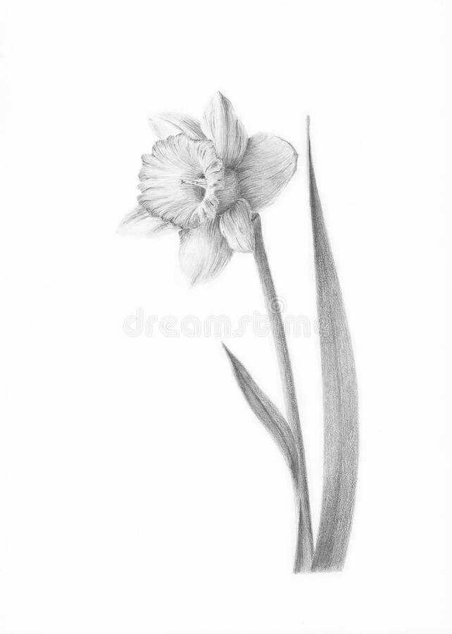 Picture Painting Picture pencil Painting graphic Painting black and white Drawing Narcissus flower Daffodil royalty free stock image