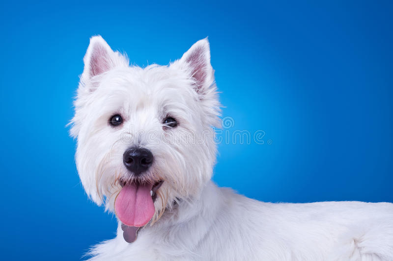 Picture of a panting westie. Standing against blue background stock image