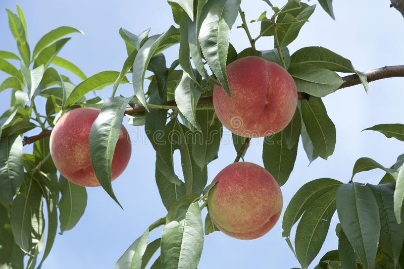 Peach of fresh orchard. royalty free stock photos