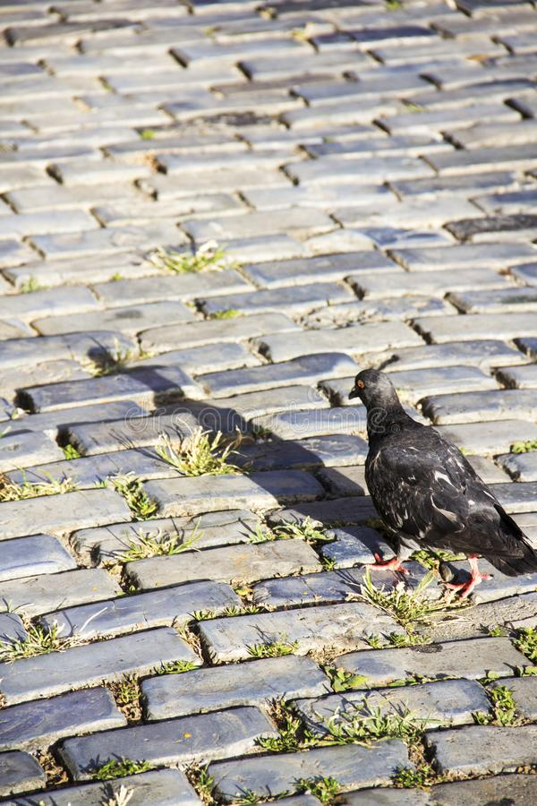 Pigeon on a cobblestone street royalty free stock photo