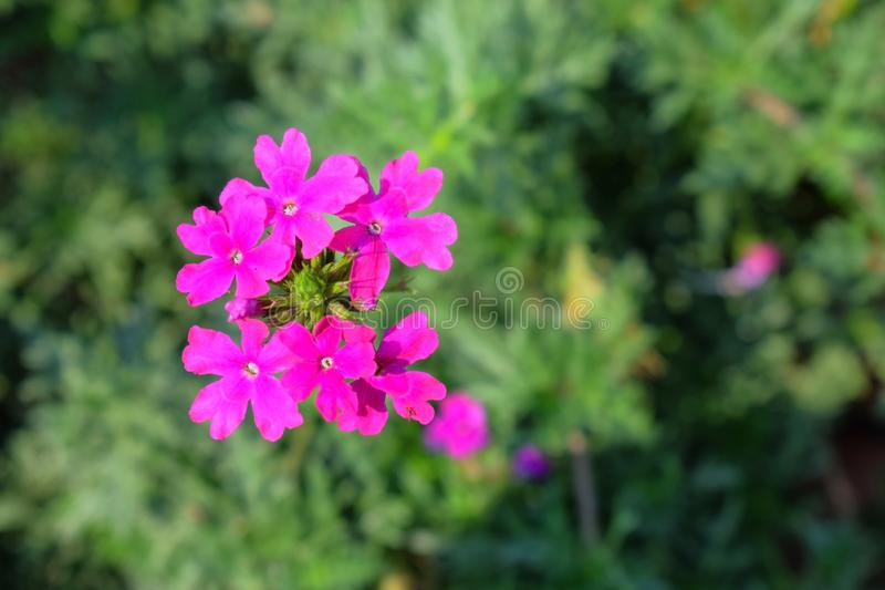 Pink colored attractive flowers in the garden with green leaves in the background royalty free stock photos