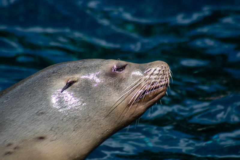 Playful sea lions. Picture of playful sea lions royalty free stock image
