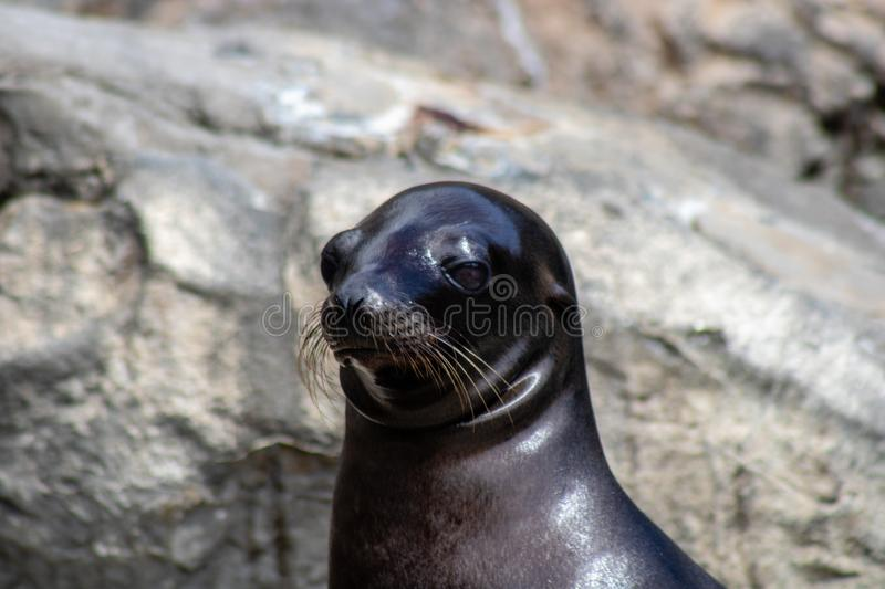 Playful sea lions. Picture of playful sea lions stock photography