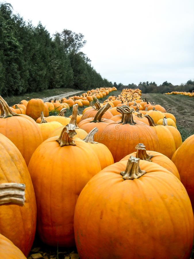 Pumpkin patch in a field royalty free stock photos