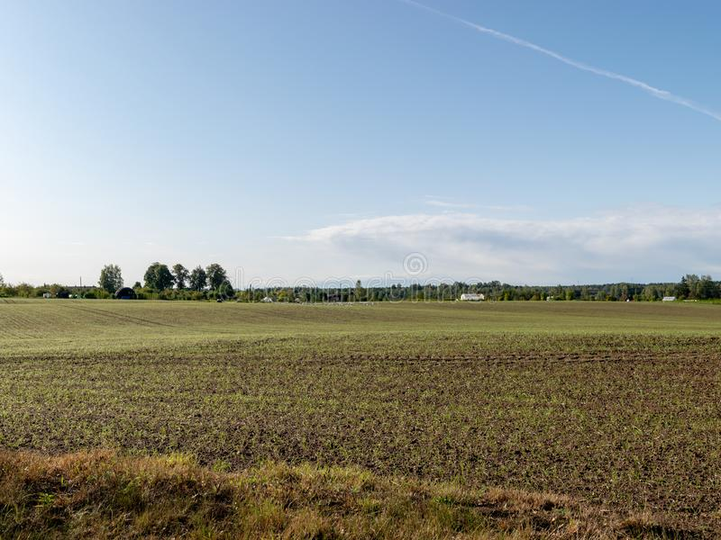 Picture with rye field, fresh green contrasting with blue sky. Autumn stock images