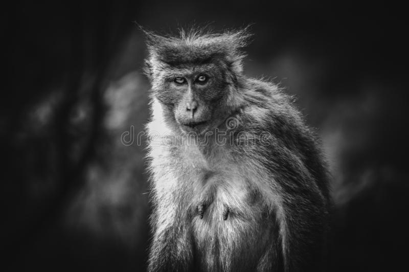 Toned picture of scary monkey with red eyes watching in the camera. Picture of scary monkey with red eyes watching in the camera, toned stock images