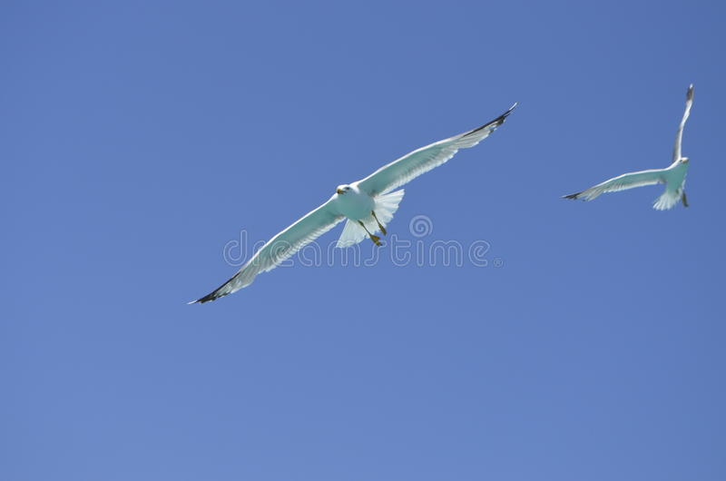 Picture of a seagull in the sky symbolizing freedom stock images