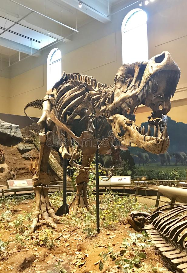 Fossil of the first Tyrannosaurus Rex discovered in the world. royalty free stock photography