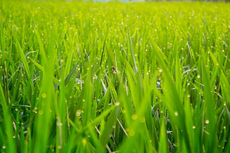 Rice Field When Afternoon After Rain royalty free stock photo