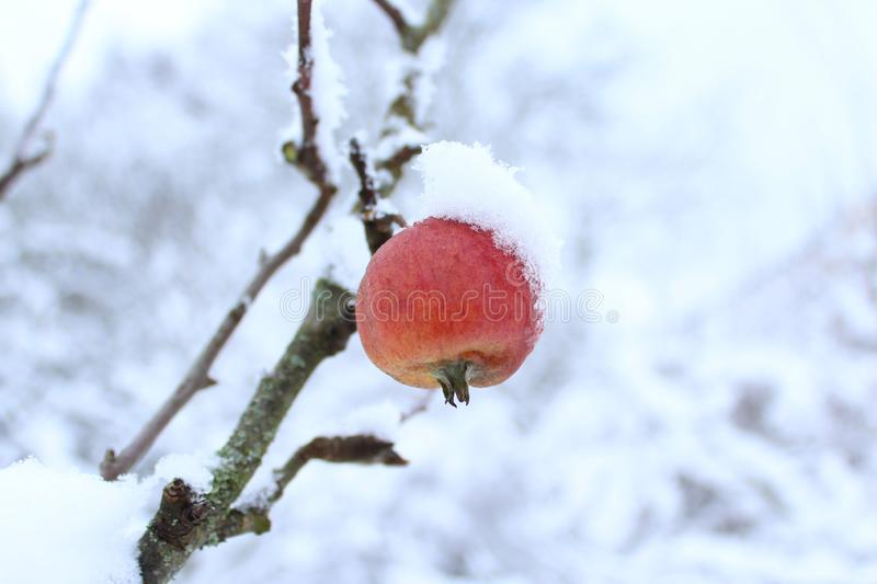 Apple on a tree in the winter stock photo