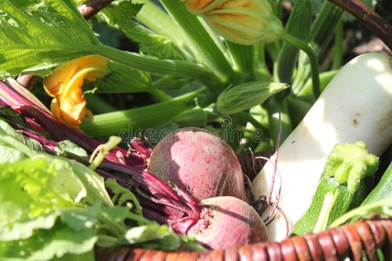 Basket with beetroot, radish and zucchini stock image