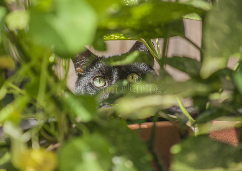 The garden - a cat in the greenery. The picture shows a black cat. The focus is on the cat`s eyes. His is hiding behind a green plant royalty free stock image