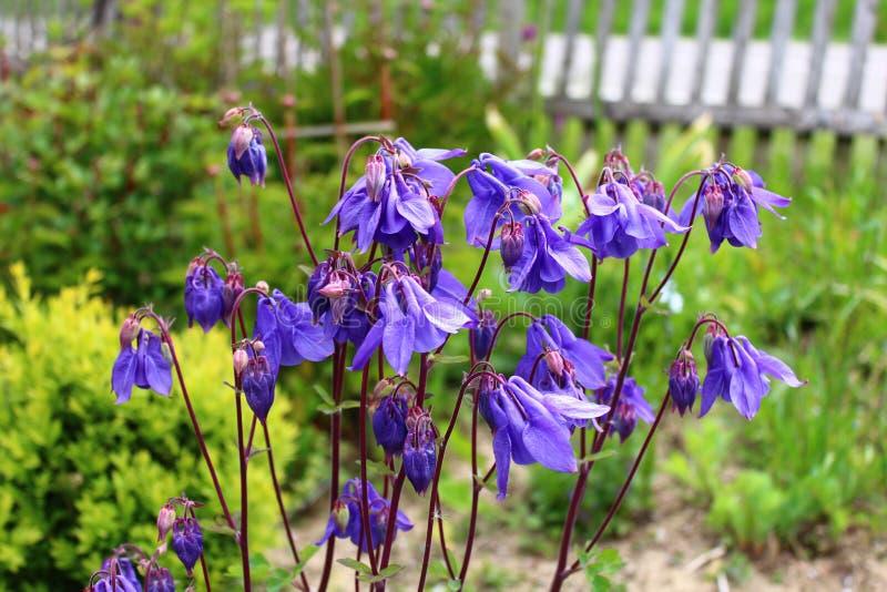 Blue columbine in the garden stock image